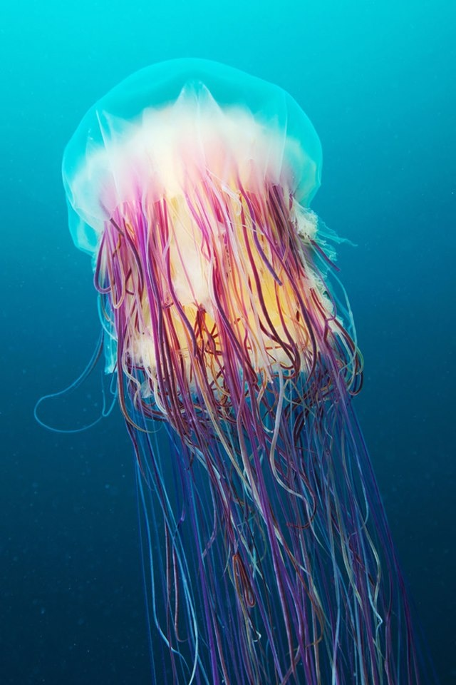 Lion's mane jellyfish (Cyanea capillata), found in the North Atlantic and the Arctic, is one of the largest jellyfish known, with 150 tentacles that can measure over 90 feet long. It has toxins that can paralyze the victim and even cause cardiac arrests in small beings; the lion's mane also has a great ecological importance, since it is the only predator of the ctenophore 'Mnemiopsis leidyi', which devours the plankton wildly affecting the fish population in certain...  Photo: Alexander…