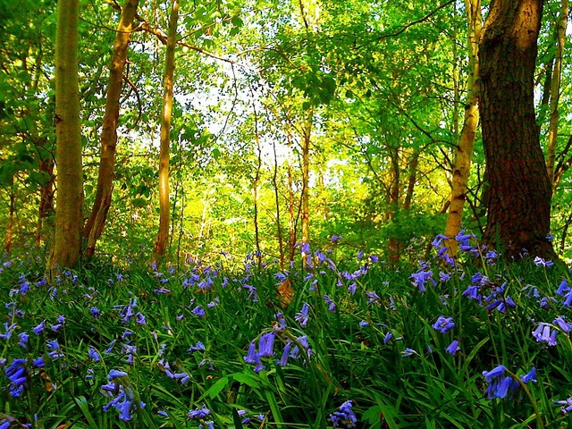 Bluebells in Maulden Wood, Clophill, UK