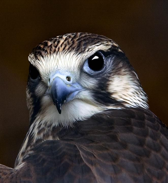 Kestrel - great detail for this type of bird painted on a rock. I love that shade of blue.