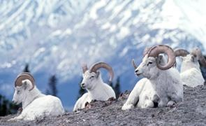 Dall sheep sit atop majestic Yukon peaks in Kluane National Park.