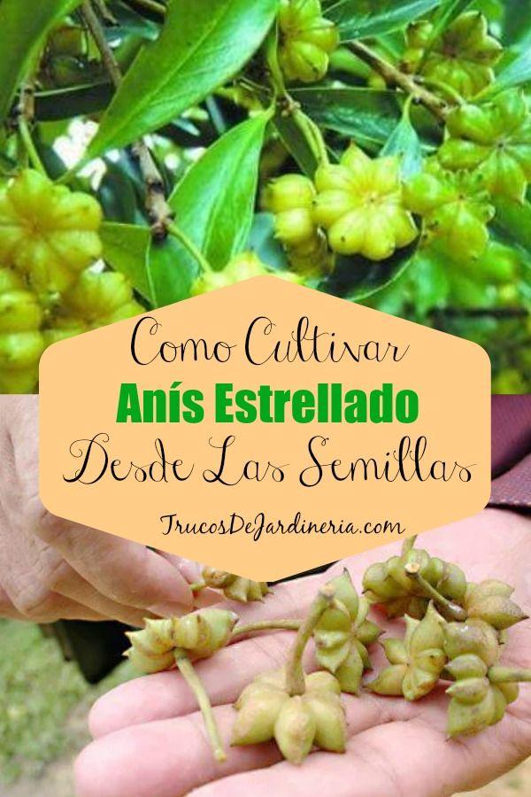 Como Cultivar Anís Estrellado Desde Las Semillas Jardín De Productos Comestibles Jardín De Vegetales Cultivo De Plantas