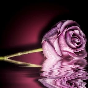 Rose ,