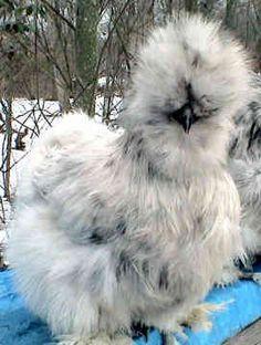 Chicken Breed  blue silkie hen,
