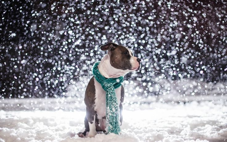 funny pitbull pictures with captions | Animal Picture Pitbull Dog Sitting In The Snow HD Wallpaper