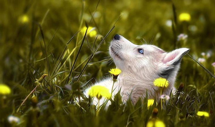 Dog Husky Grass Flower Bokeh Mood Images