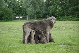 De Ierse Wolfshond is de grootste hond die er bestaat. Het is een gezellige hond die trouw en aanhankelijk is ten opzicht van zijn baas en gezin.