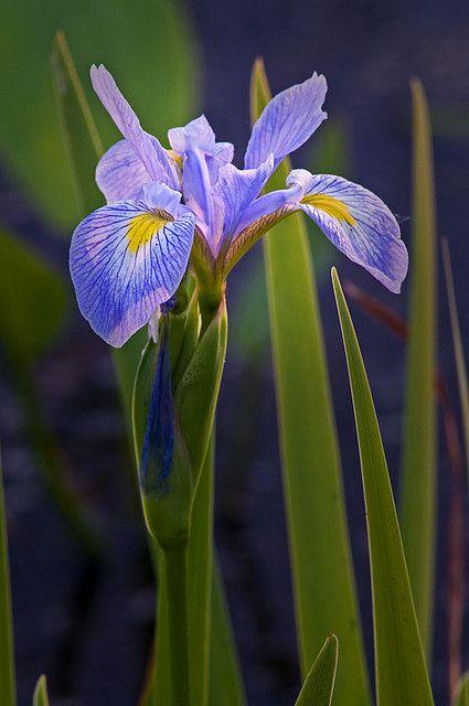 Wild Iris Bloom