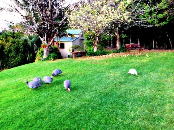 Our Guinea Fowl.