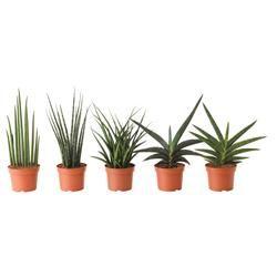 SANSEVIERIA - Φυτό - IKEA