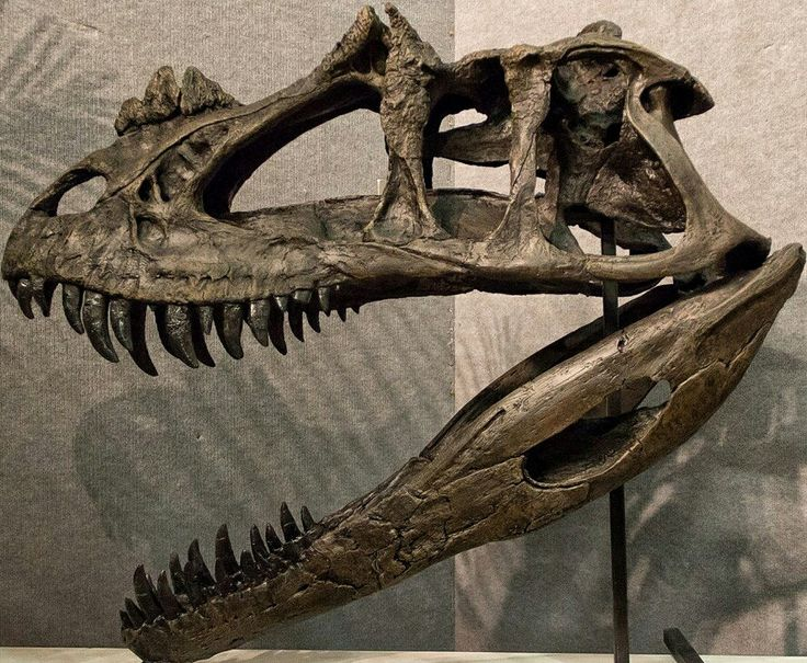 Ceratosaurus nasicornis skull