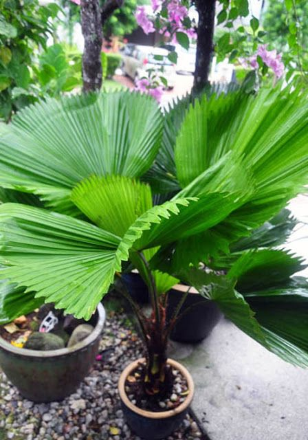 ruffled fan palm