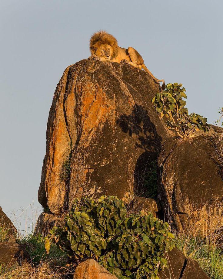 The King snoozing on his rock! Kidepo Valley, Uganda.