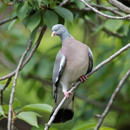 ---Pigeon ramier---  Le pigeon ramier est le plus gros de nos pigeons.  En dehors de la période de reproduction il évolue souvent en groupes. Le ramier est très répandu sur tout le territoire. Les oiseaux du nord et de l'est migrent vers les pays méditerranéens en automne et reviennent au début du printemps. La plupart sont toutefois sédentaires.
