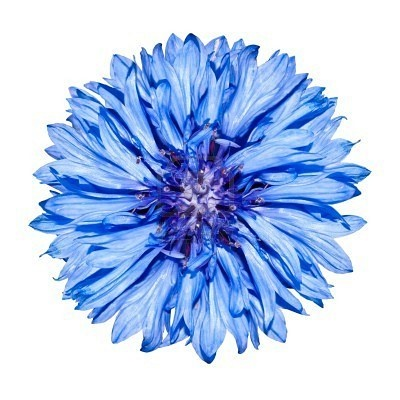 Cornflower blueFavorite Colours, White Backgrounds, Cornflower Blue, Late Night, Colors, Auguste 2014, Night Pin, Floral Auguste, Feelings Blue