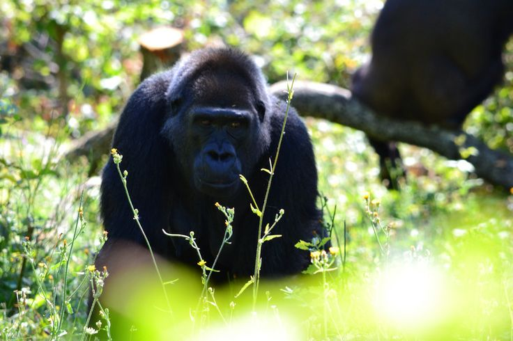Le mâle Gorille est sans doute l'animal le plus impressionnant de la Vallée des Singes.