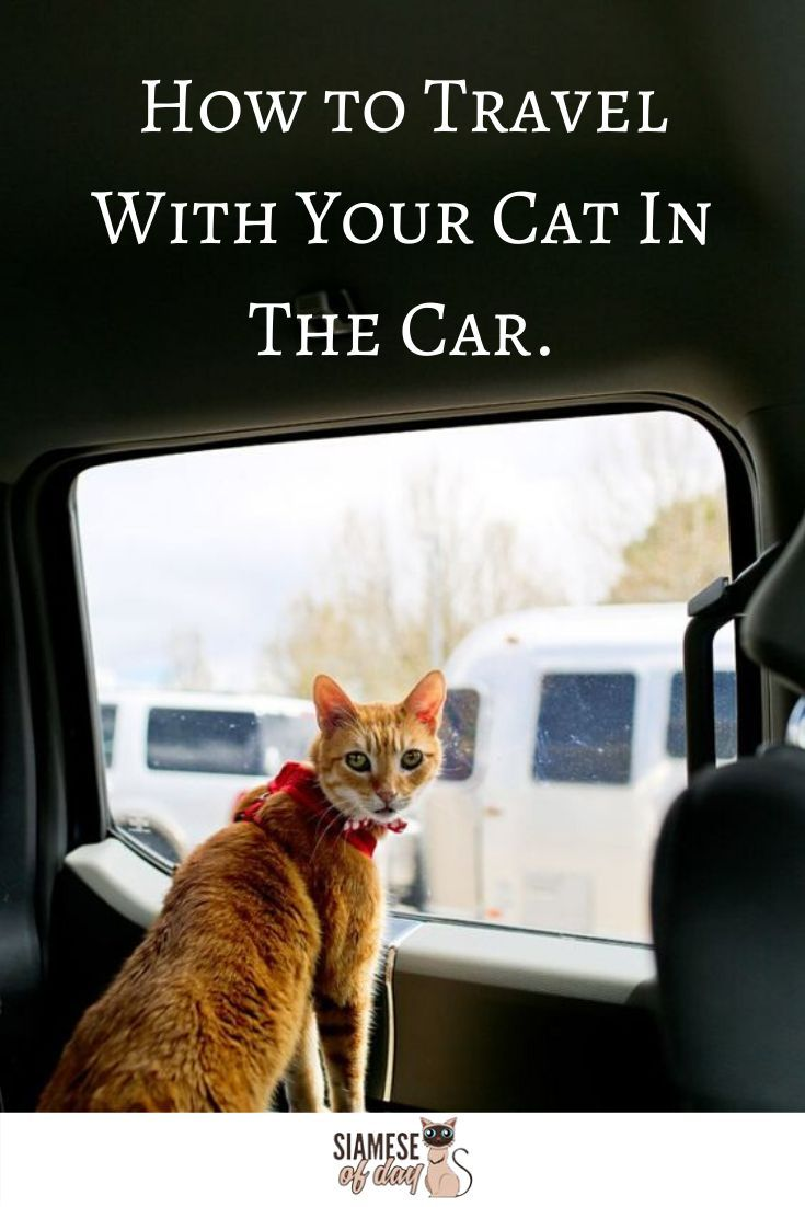 How To Travel With Your Cat In The Car In 2020 Cats Cat Travel Siamese Kittens