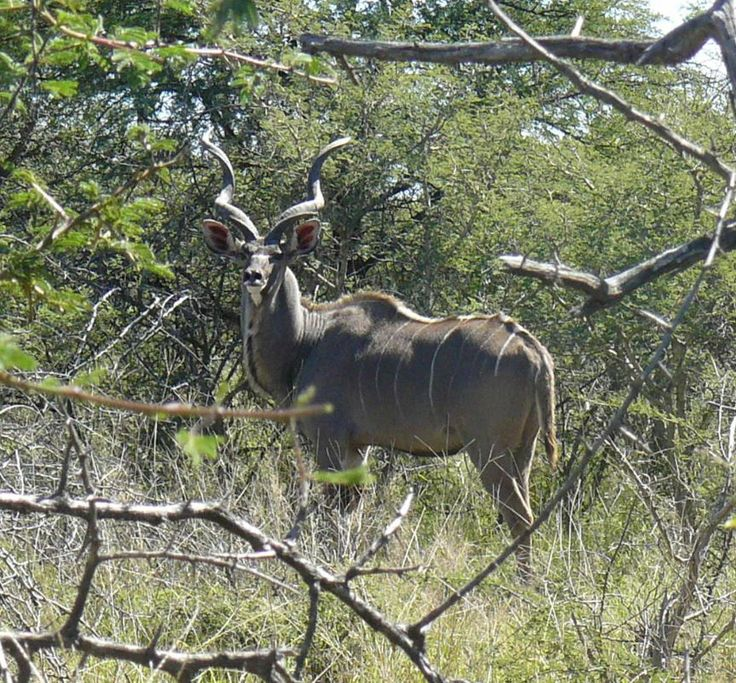 Trophy Kudu