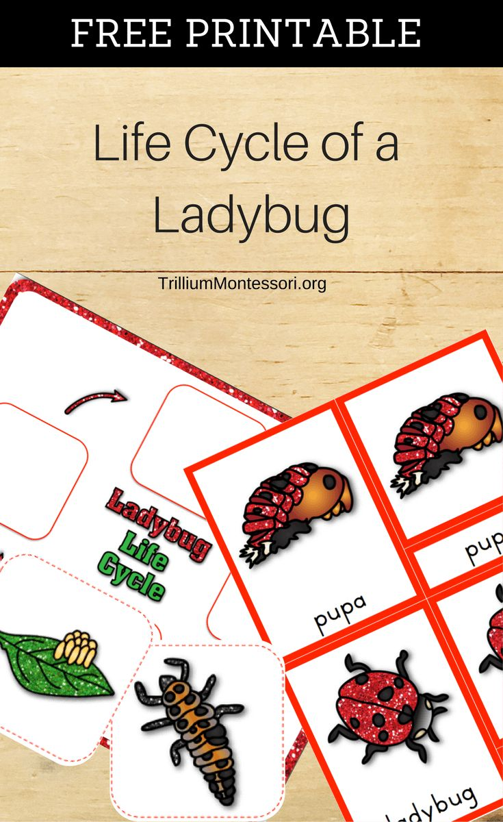 Free Printable Life Cycle of a Ladybug