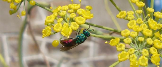 Ruby-tailed Wasp - Skol-louarn - Skol-louarn