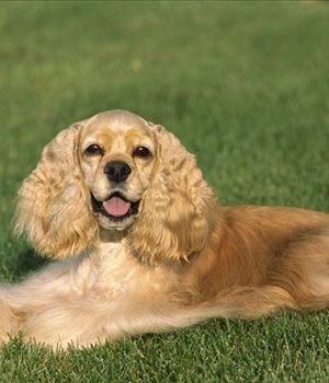"""Name: American Cocker Spaniel - my family had one like this and we named him """"Champy""""!"""