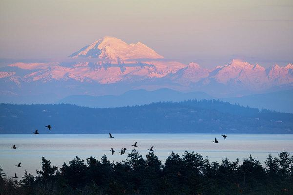 Art prints for sale:  The alpenglow on Mt. Baker, Washington as seen from Victoria, BC.  A flock of passing birds adds a nice touch to this sunset scene.