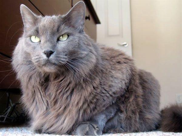 Cats breeds – nebelung | Cat Breeds | Pinterest | Nebelung and Cat