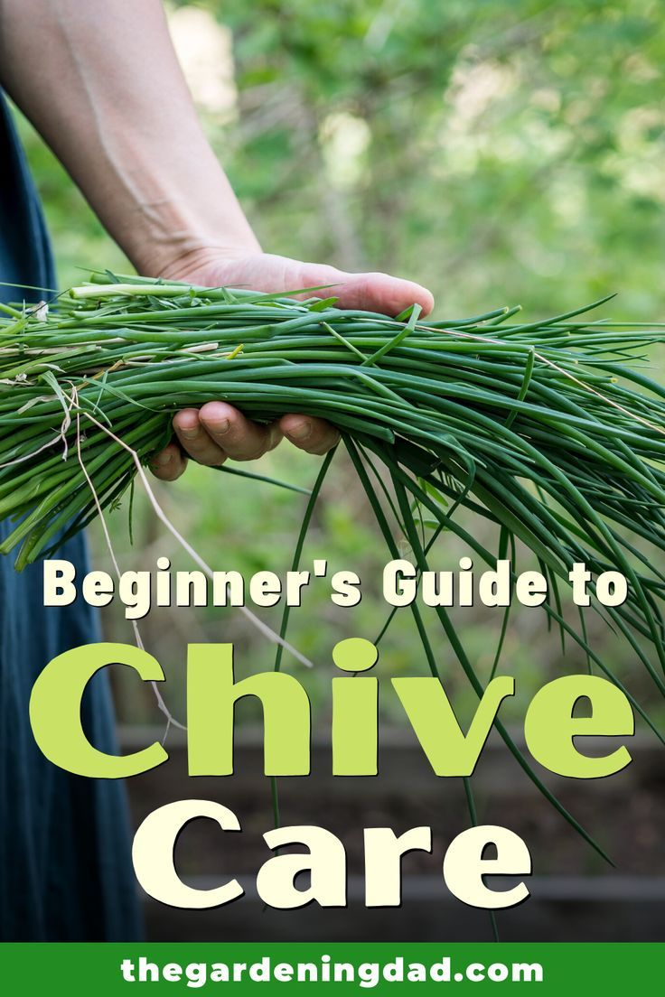 10 Proven Tips How To Grow Chives The Gardening Dad Growing Chives Chives Plant Starting A Garden