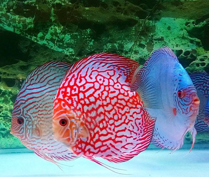 1000 ideas about aquarium fish on pinterest freshwater for Freshwater tropical fish for sale
