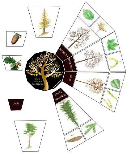 Legekreis: Unsere Laub- und Nadelbäume (Zeichnungen)