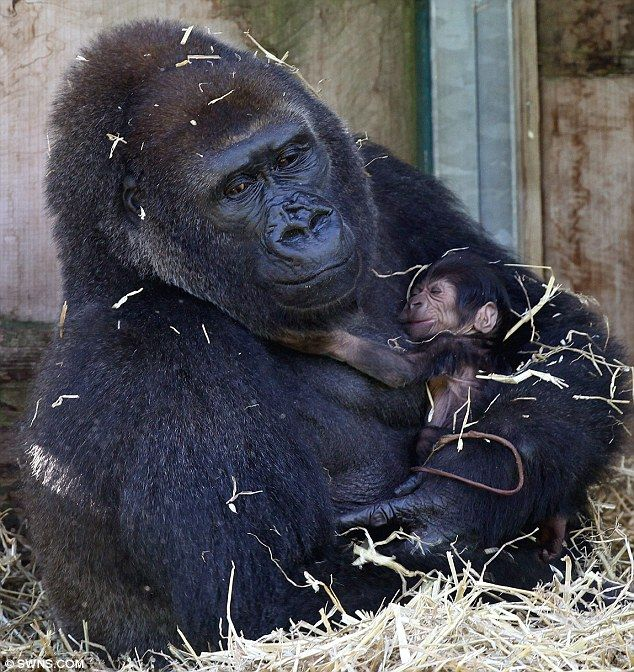 I'll never let you go: Salome cradles her sleeping newborn at Bristol Zoo. Not news but I only just found this, Salome and Kukena