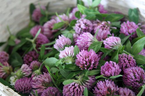 """Red Clover: high in magnesium and calcium to support the nervous system, high in vitamins that support the uterus, high mineral content, alkalizes the body, fights bacteria, clears mucous, calms nervousness, strengthens ovaries, good for fertility."""