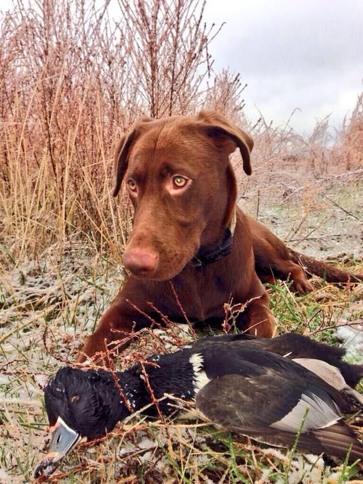 Duck Hunting Dogs For Sale In Texas