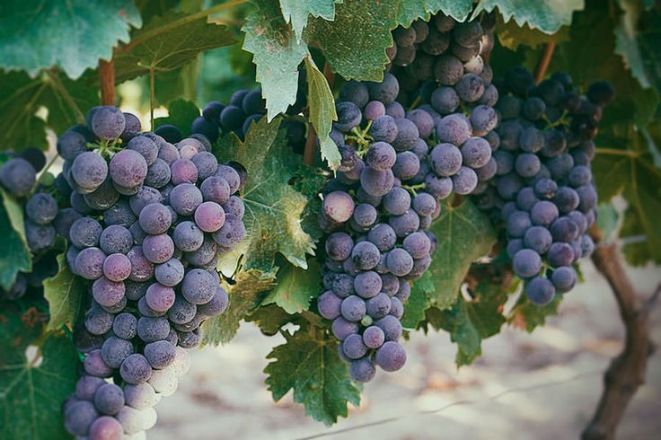 L'eccellenza della Tenuta #Ripa #Alta è sicuramente il #Moscato di #Trani, vincitore del terzo premio come migliore #vino dolce 2015 di #Puglia. Tenuta Ripa Alta, #Cerignola (FG), #bioeticonet #wine #apulia
