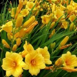 Liliowiec 'Stella de Oro' Hemerocallis