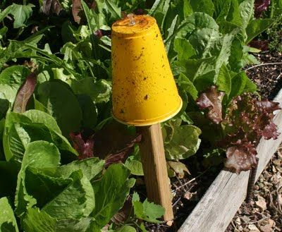 coat a yellow plastic cup on the outside, with Tree Tanglefoot, a very sticky substance that doesn't wash off. The aphids are attracted to the color yellow, they fly onto the cups and the Tanglefoot catches them.