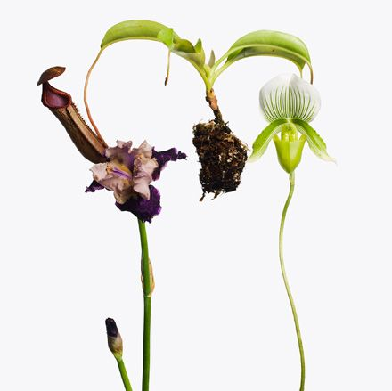 '1 Pitcher Plant, 1 Purple Iris, 1 Lady Slipper Orchid', by Inez & Vinoodh, 2013