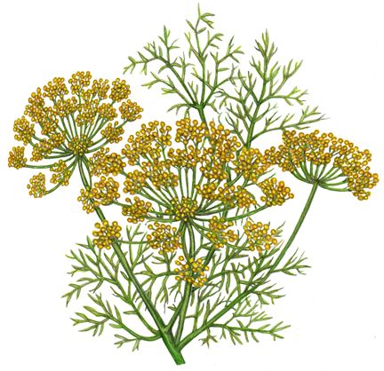 49 best culinary herbs spices illustrations images on pinterest dill weed with yellow flowers mightylinksfo