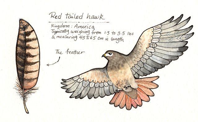 Red Tailed Hawk illustration / Falco dalla coda rossa, illustrazione - by Afsaneh Tajvidi (Joo Joo on Flickr)