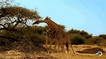 Giraffes fight by whipping their heads at each other. | 22 Facts That Will Change The Way You Look At Giraffes