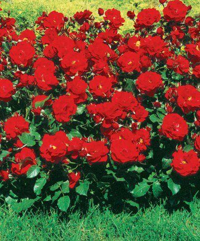 Růže ´Bernhard Däneke´ - voňavá. Rosa.  Plnokvětá růže v atraktivní sametově červené barvě kvete až do pozdního podzimu. Tato růže má velmi zdravé, svěží listy a krásně jemně voní. Výška: asi 60 cm.