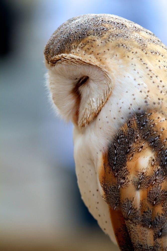Birds of Prey - Barn owl sleeping - by Antonio Freitas