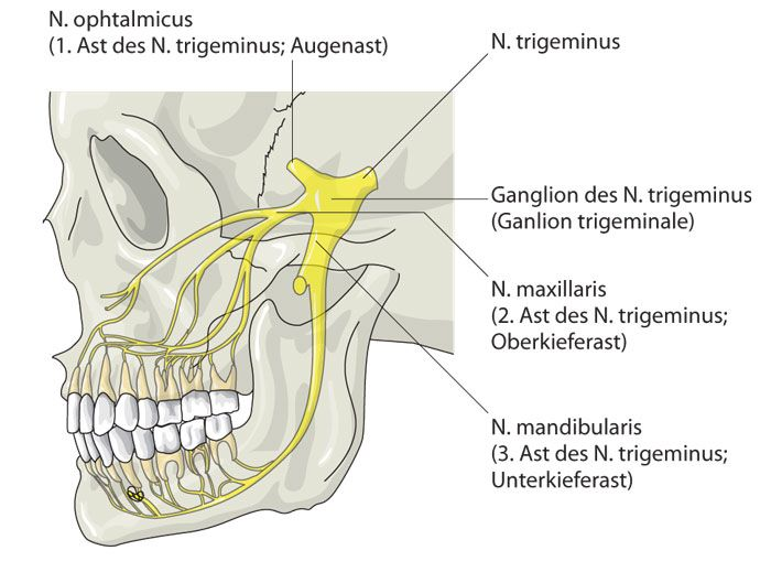 Tooth nerves anatomy
