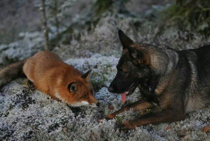 German Shepherd and his friend the Fox