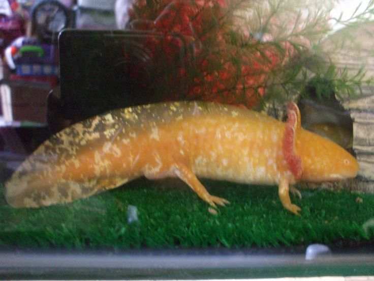 17 best images about axolotl on pinterest mudkip lakes for Mexican walking fish for sale