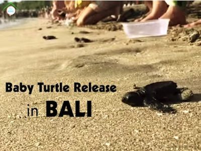 Turtle Release in Kuta, Bali peaks on Aug - Sept