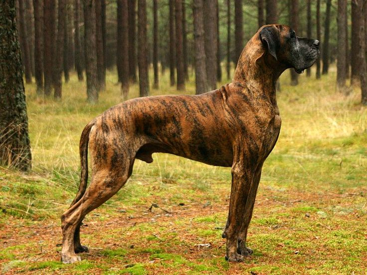 i never new that there was a brindle dane wow its beautiful!!!