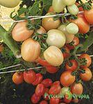 семна цветных томатов