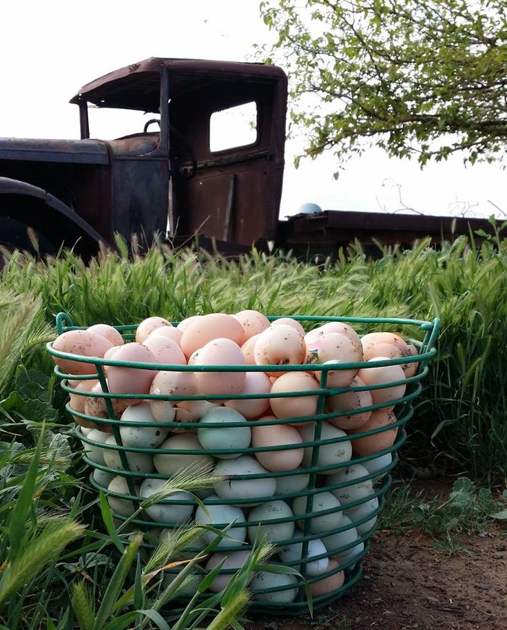 Egg Production and the New Cage Law - Shelly's Farm Fresh