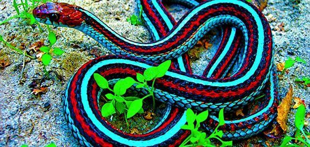 تفسير حلم ثعبان يلاحقني في المنام للعزباء والمتزوجة Snake Wallpaper King Cobra Snake Beautiful Creatures