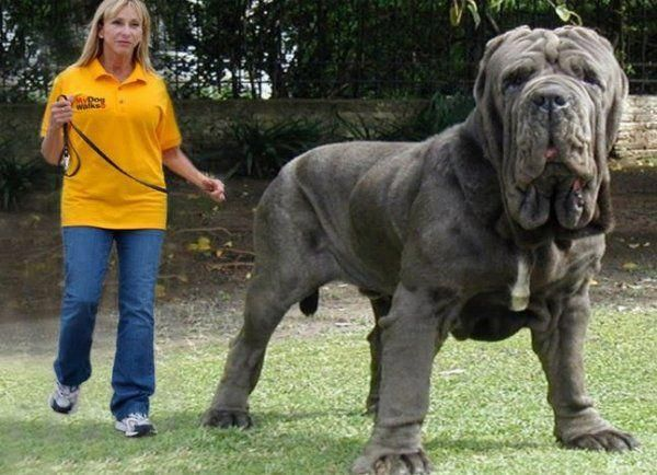 All the things we enjoy about the Patient Giant Mastiffs #mastiffrottweiler  #mastiffsworldwide #mastiffdogs | Worlds biggest dog, Big dog breeds, Big  dogs